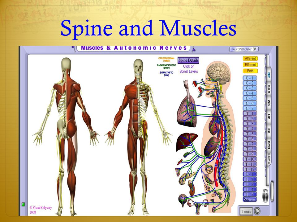 Spine and Muscles