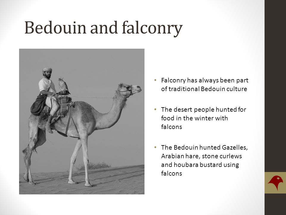 Bedouin and falconry Falconry has always been part of traditional Bedouin culture The desert people hunted for food in the winter with falcons The Bedouin hunted Gazelles, Arabian hare, stone curlews and houbara bustard using falcons