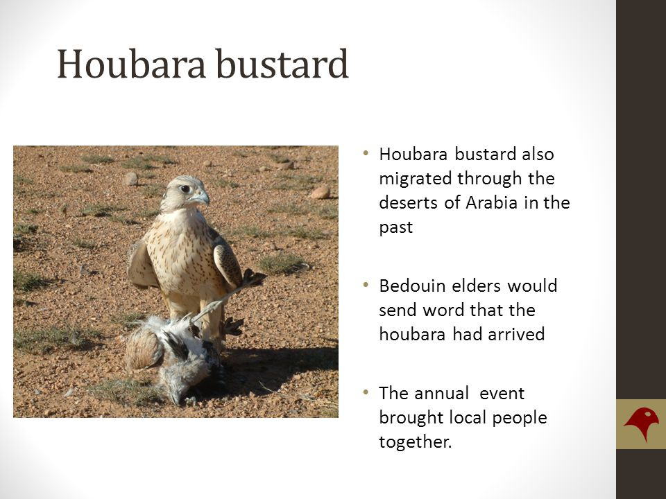 Houbara bustard Houbara bustard also migrated through the deserts of Arabia in the past Bedouin elders would send word that the houbara had arrived The annual event brought local people together.