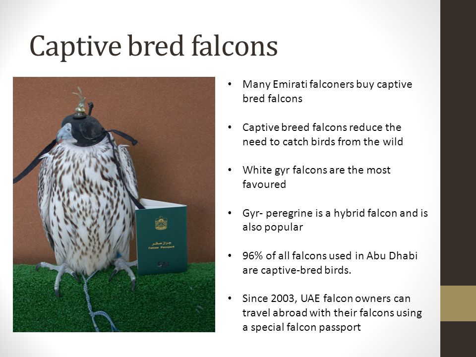 Captive bred falcons Many Emirati falconers buy captive bred falcons Captive breed falcons reduce the need to catch birds from the wild White gyr falcons are the most favoured Gyr- peregrine is a hybrid falcon and is also popular 96% of all falcons used in Abu Dhabi are captive-bred birds.