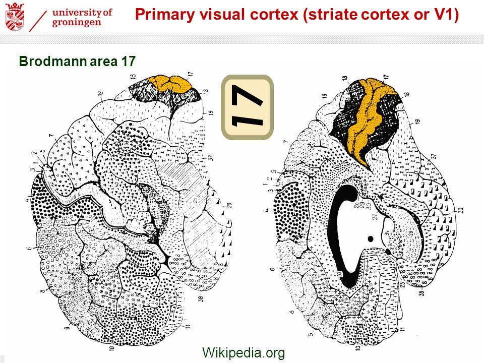 2 Primary visual cortex (striate cortex or V1) Brodmann area 17 Wikipedia.org