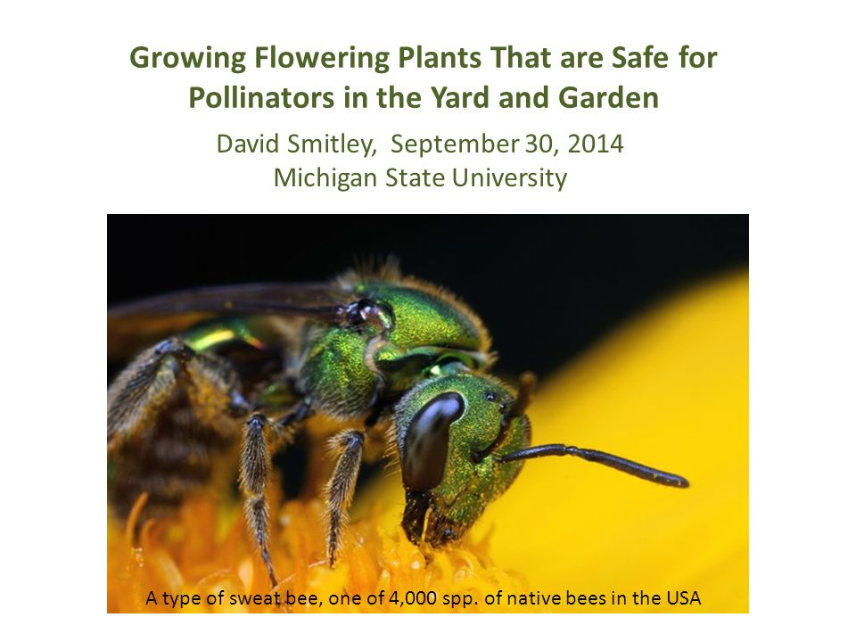 Growing Flowering Plants That are Safe for Pollinators in the Yard and Garden A type of sweat bee, one of 4,000 spp. of native bees in the USA David S
