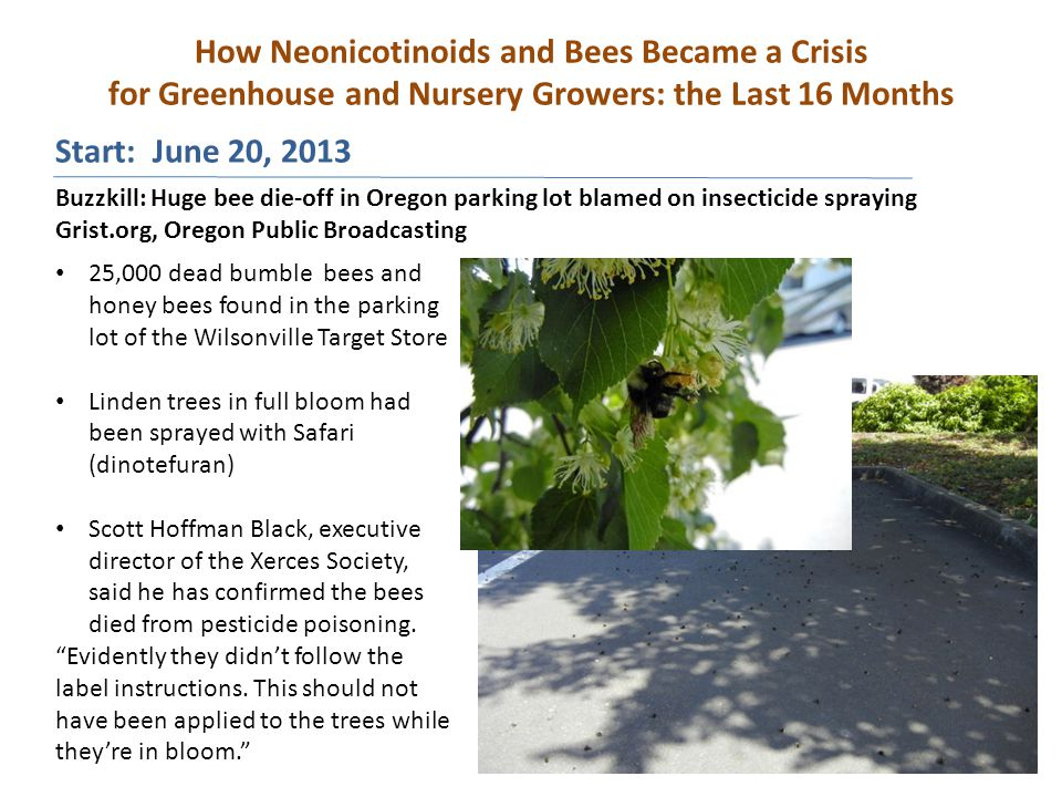 How Neonicotinoids and Bees Became a Crisis for Greenhouse and Nursery Growers: the Last 16 Months Buzzkill: Huge bee die-off in Oregon parking lot blamed on insecticide spraying Grist.org, Oregon Public Broadcasting 25,000 dead bumble bees and honey bees found in the parking lot of the Wilsonville Target Store Linden trees in full bloom had been sprayed with Safari (dinotefuran) Scott Hoffman Black, executive director of the Xerces Society, said he has confirmed the bees died from pesticide poisoning.