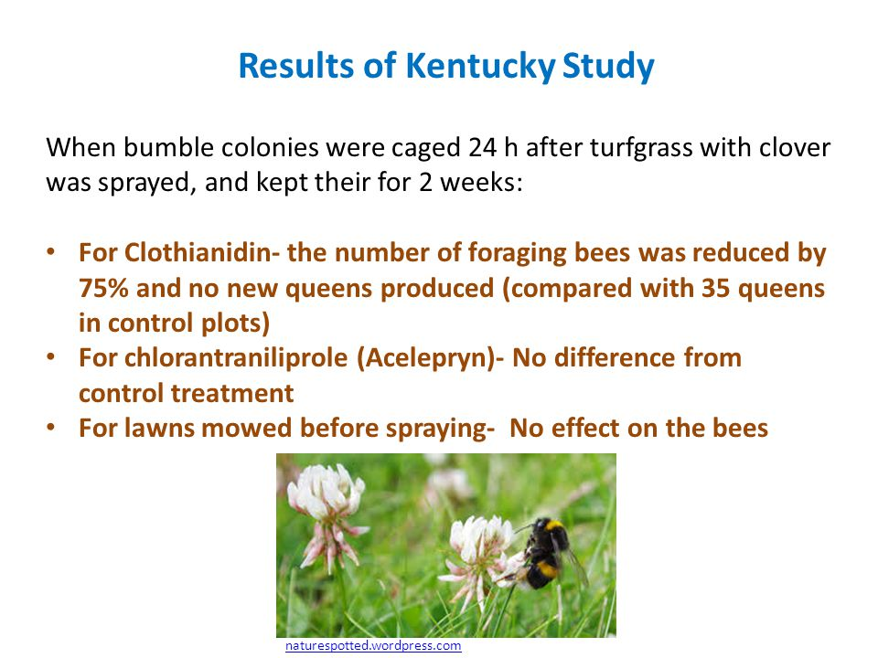 Results of Kentucky Study When bumble colonies were caged 24 h after turfgrass with clover was sprayed, and kept their for 2 weeks: For Clothianidin- the number of foraging bees was reduced by 75% and no new queens produced (compared with 35 queens in control plots) For chlorantraniliprole (Acelepryn)- No difference from control treatment For lawns mowed before spraying- No effect on the bees