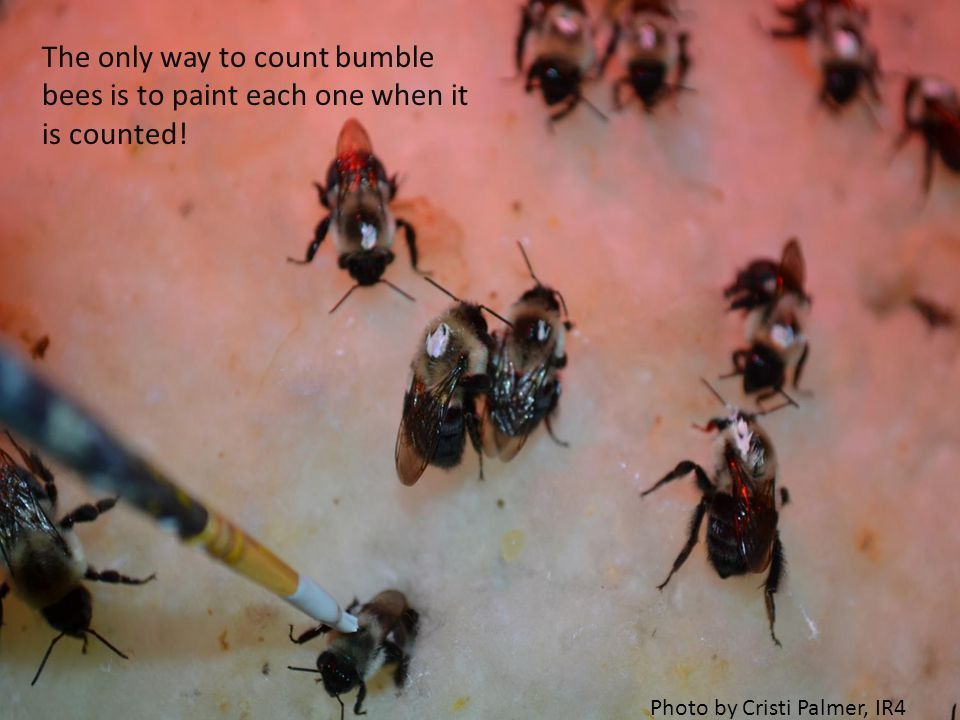 The only way to count bumble bees is to paint each one when it is counted.