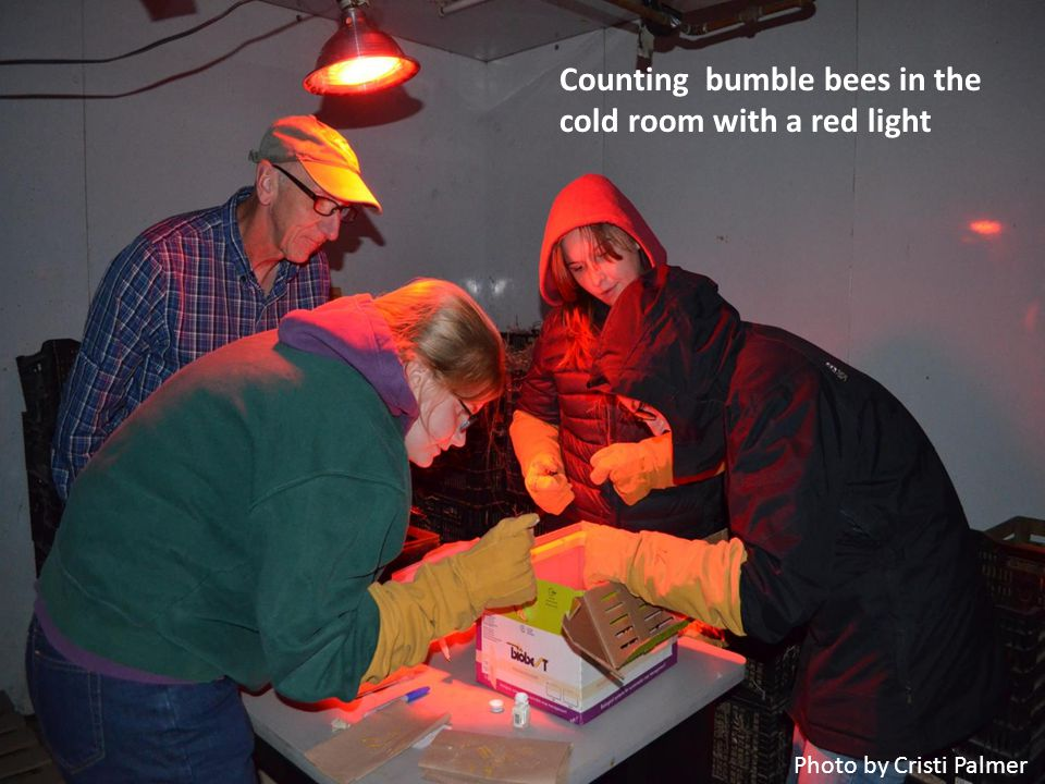 Counting bumble bees in the cold room with a red light Photo by Cristi Palmer