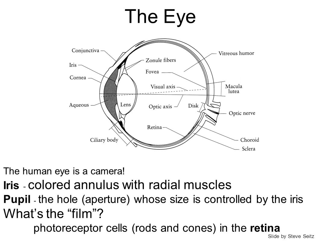 The Eye The human eye is a camera! Iris - colored annulus with radial muscles Pupil - the hole (aperture) whose size is controlled by the iris What's