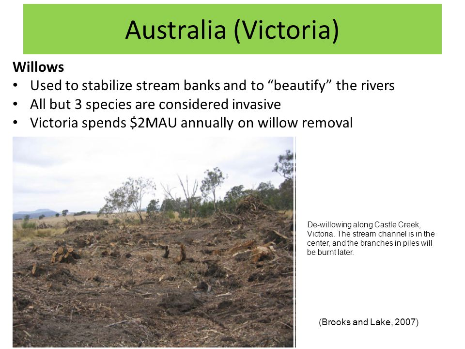 Australia (Victoria) Willows Used to stabilize stream banks and to beautify the rivers All but 3 species are considered invasive Victoria spends $2MAU annually on willow removal (Brooks and Lake, 2007) De-willowing along Castle Creek, Victoria.