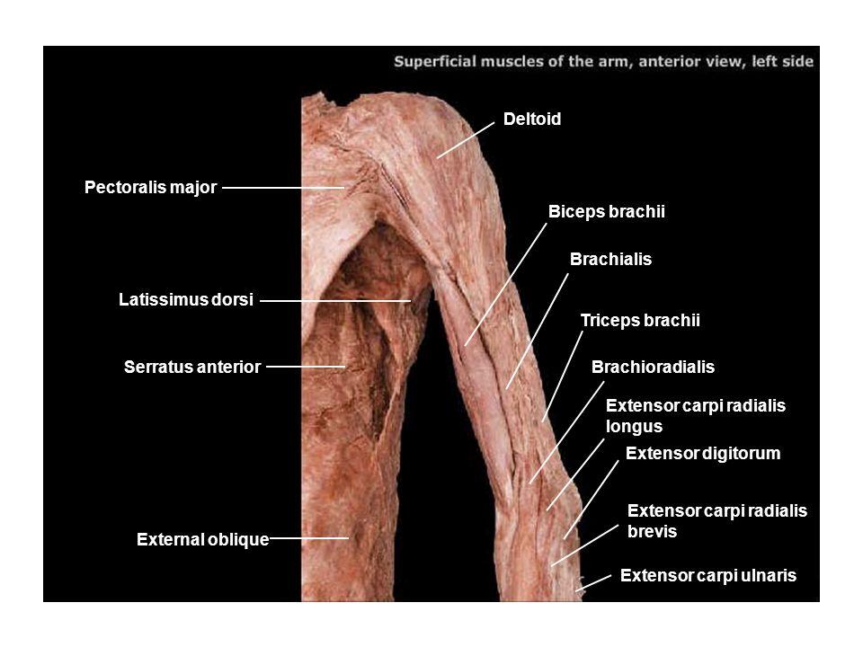 Coracobrachialis Pectoralis minor Serratus anterior Latissimus dorsi Anconeous Extensor digitorum Extensor carpi radialis longus Brachialis Triceps brachii