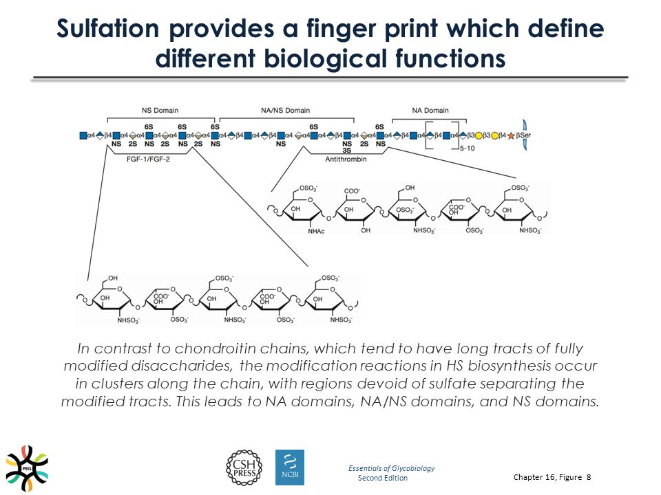 Sulfation provides a finger print which define different biological functions In contrast to chondroitin chains, which tend to have long tracts of ful