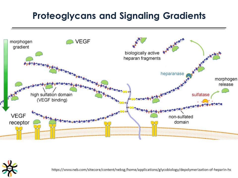 Proteoglycans and Signaling Gradients https://www.neb.com/sitecore/content/nebsg/home/applications/glycobiology/depolymerization-of-heparin-hs