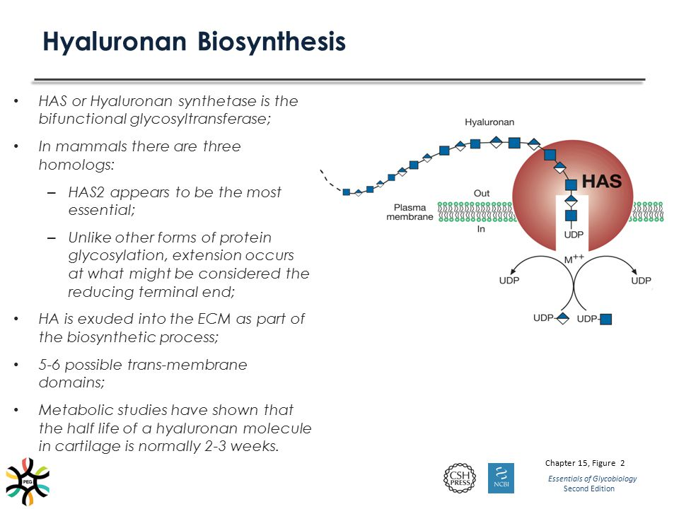 Hyaluronan Biosynthesis HAS or Hyaluronan synthetase is the bifunctional glycosyltransferase; In mammals there are three homologs: – HAS2 appears to b