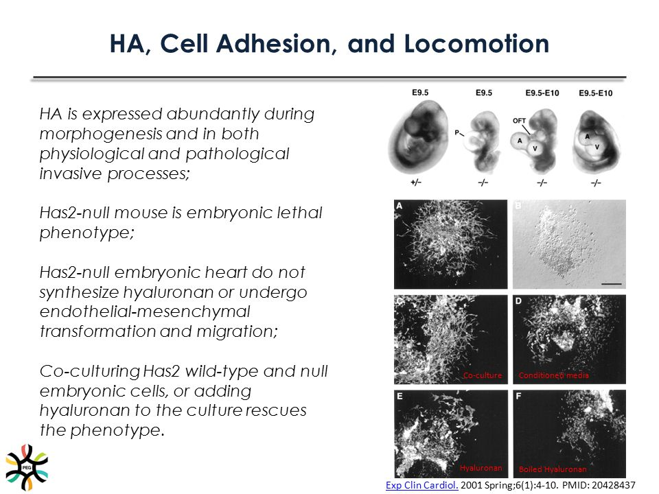 HA, Cell Adhesion, and Locomotion HA is expressed abundantly during morphogenesis and in both physiological and pathological invasive processes; Has2-