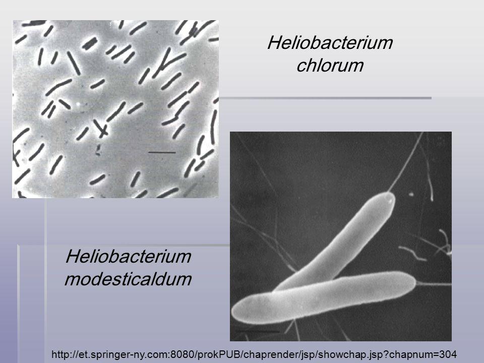 http://et.springer-ny.com:8080/prokPUB/chaprender/jsp/showchap.jsp chapnum=304 Heliobacterium chlorum Heliobacterium modesticaldum