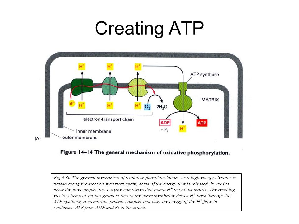 Creating ATP Fig 4.36 The general mechanism of oxidative phosphorylation.