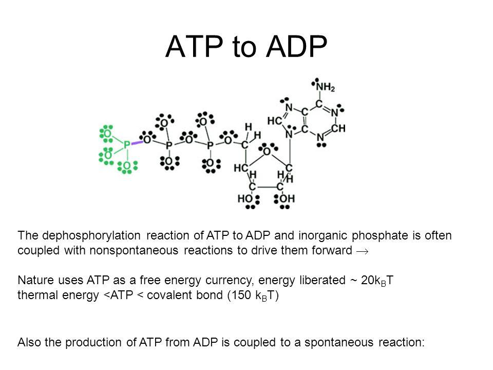 The dephosphorylation reaction of ATP to ADP and inorganic phosphate is often coupled with nonspontaneous reactions to drive them forward  Nature uses ATP as a free energy currency, energy liberated ~ 20k B T thermal energy <ATP < covalent bond (150 k B T) Also the production of ATP from ADP is coupled to a spontaneous reaction: ATP to ADP