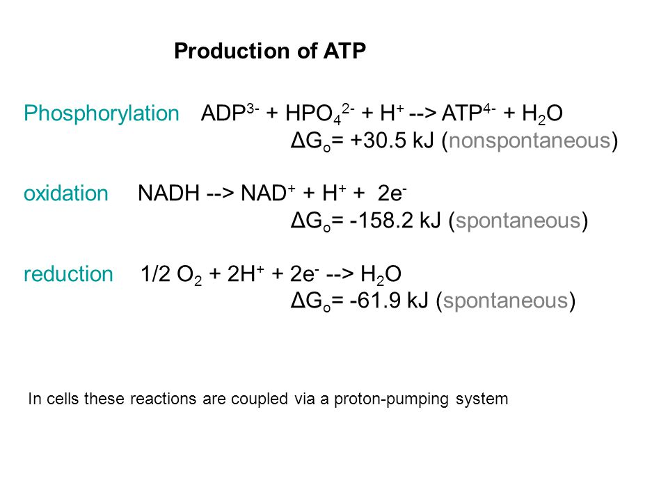Phosphorylation ADP 3- + HPO 4 2- + H + --> ATP 4- + H 2 O ΔG o = +30.5 kJ (nonspontaneous) oxidation NADH --> NAD + + H + + 2e - ΔG o = -158.2 kJ (spontaneous) reduction 1/2 O 2 + 2H + + 2e - --> H 2 O ΔG o = -61.9 kJ (spontaneous) In cells these reactions are coupled via a proton-pumping system Production of ATP