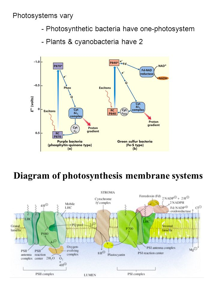 Diagram of photosynthesis membrane systems Photosystems vary - Photosynthetic bacteria have one-photosystem - Plants & cyanobacteria have 2