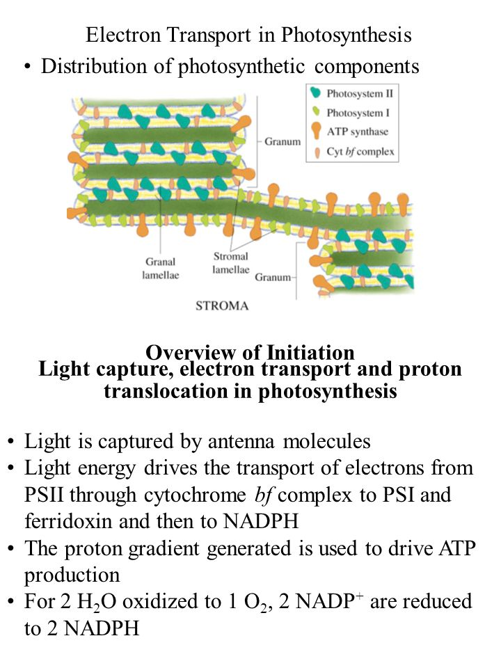 Electron Transport in Photosynthesis Distribution of photosynthetic components Overview of Initiation Light capture, electron transport and proton tra