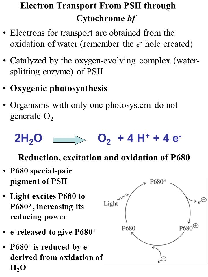 Electron Transport From PSII through Cytochrome bf Electrons for transport are obtained from the oxidation of water (remember the e - hole created) Ca