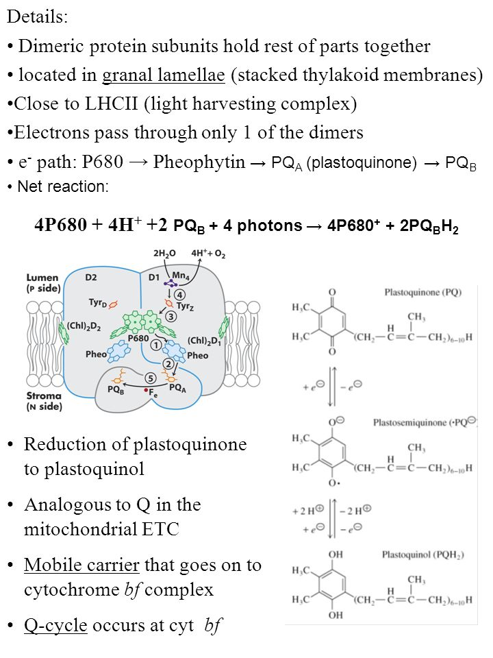 Reduction of plastoquinone to plastoquinol Analogous to Q in the mitochondrial ETC Mobile carrier that goes on to cytochrome bf complex Q-cycle occurs