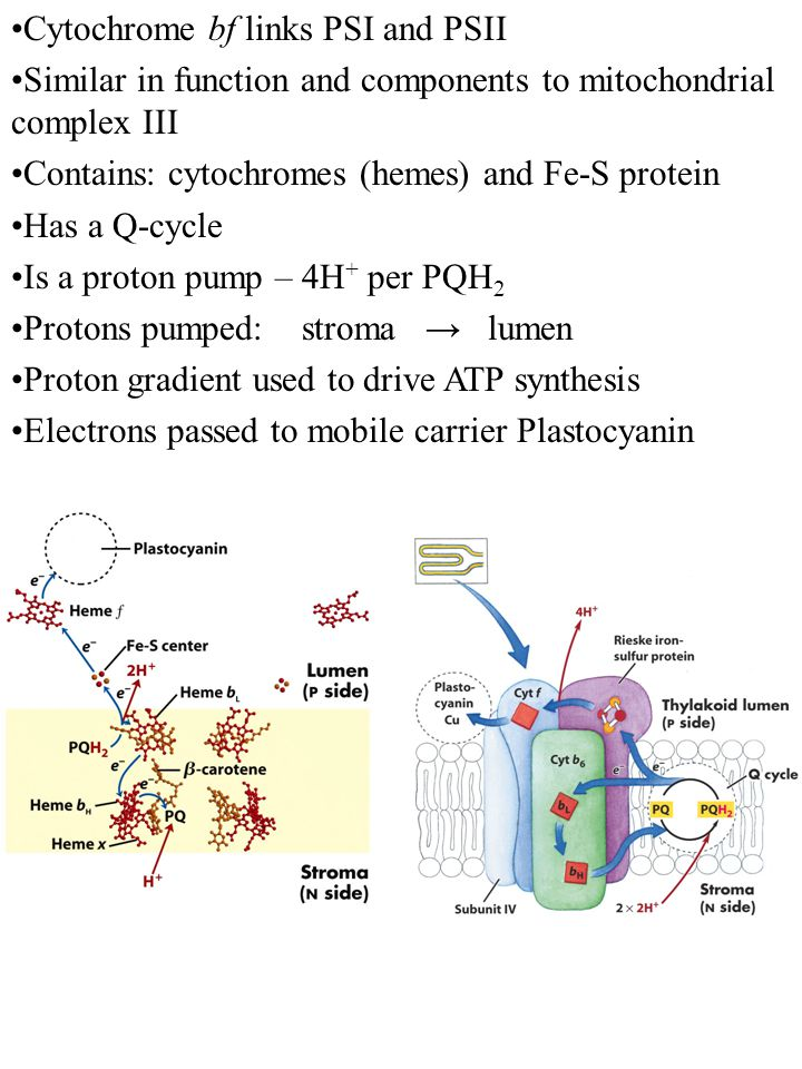 Cytochrome bf links PSI and PSII Similar in function and components to mitochondrial complex III Contains: cytochromes (hemes) and Fe-S protein Has a Q-cycle Is a proton pump – 4H + per PQH 2 Protons pumped: stroma → lumen Proton gradient used to drive ATP synthesis Electrons passed to mobile carrier Plastocyanin