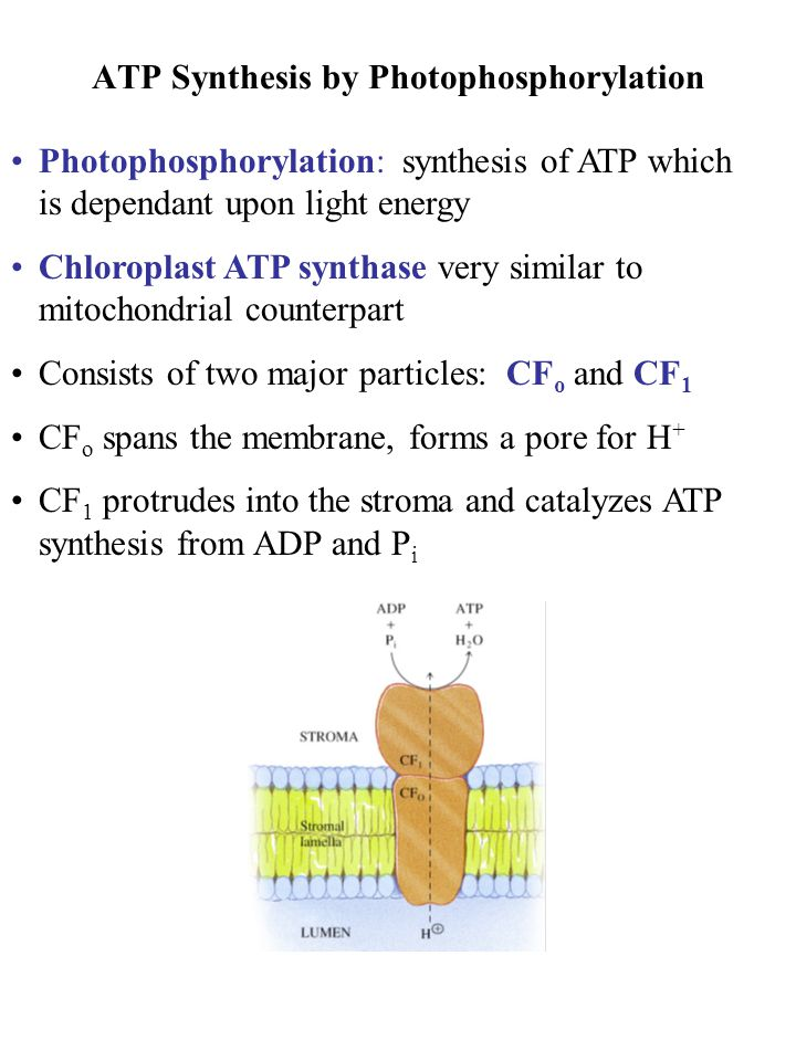 ATP Synthesis by Photophosphorylation Photophosphorylation: synthesis of ATP which is dependant upon light energy Chloroplast ATP synthase very simila