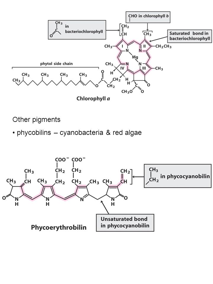 Other pigments phycobilins – cyanobacteria & red algae