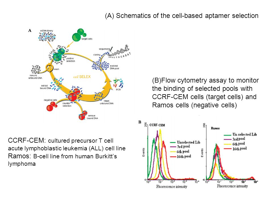 (B)Flow cytometry assay to monitor the binding of selected pools with CCRF-CEM cells (target cells) and Ramos cells (negative cells) (A) Schematics of the cell-based aptamer selection CCRF-CEM: cultured precursor T cell acute lymphoblastic leukemia (ALL) cell line Ramos: B-cell line from human Burkitt's lymphoma