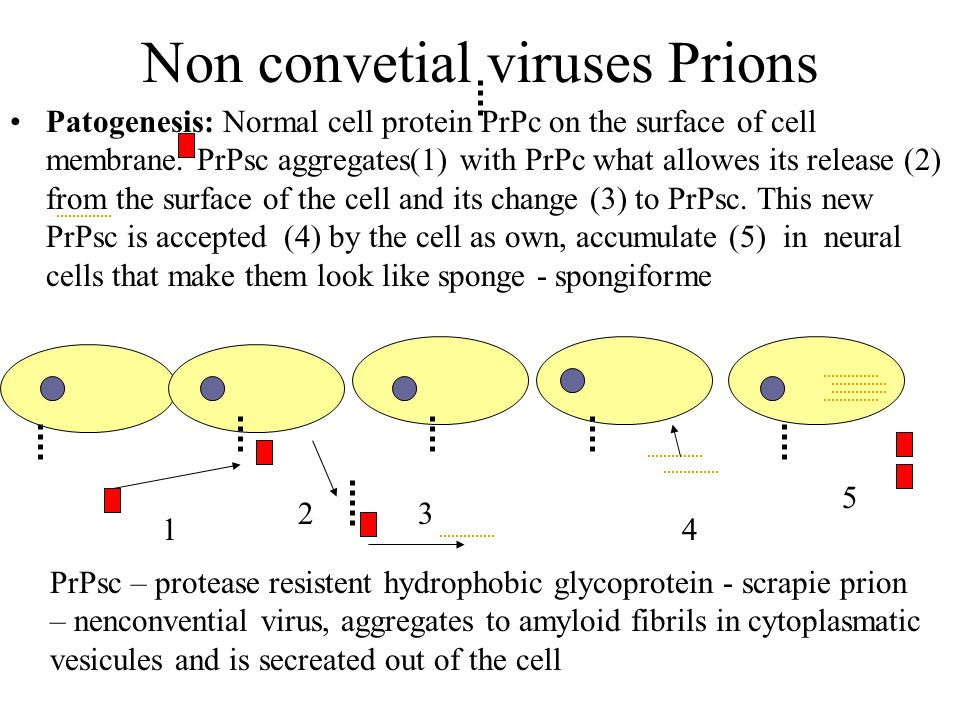 Non convetial viruses Prions Patogenesis: Normal cell protein PrPc on the surface of cell membrane. PrPsc aggregates(1) with PrPc what allowes its rel