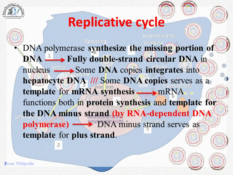 Replicative cycle DNA polymerase synthesize the missing portion of DNA Fully double-strand circular DNA in nucleus Some DNA copies integrates into hep