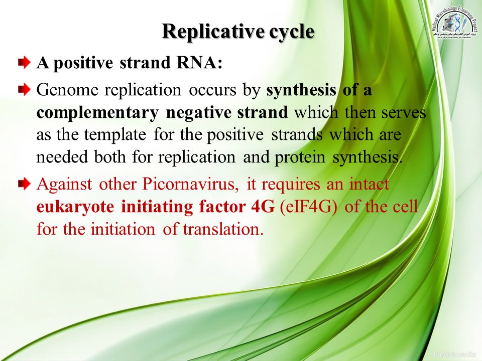 Replicative cycle A positive strand RNA: Genome replication occurs by synthesis of a complementary negative strand which then serves as the template f