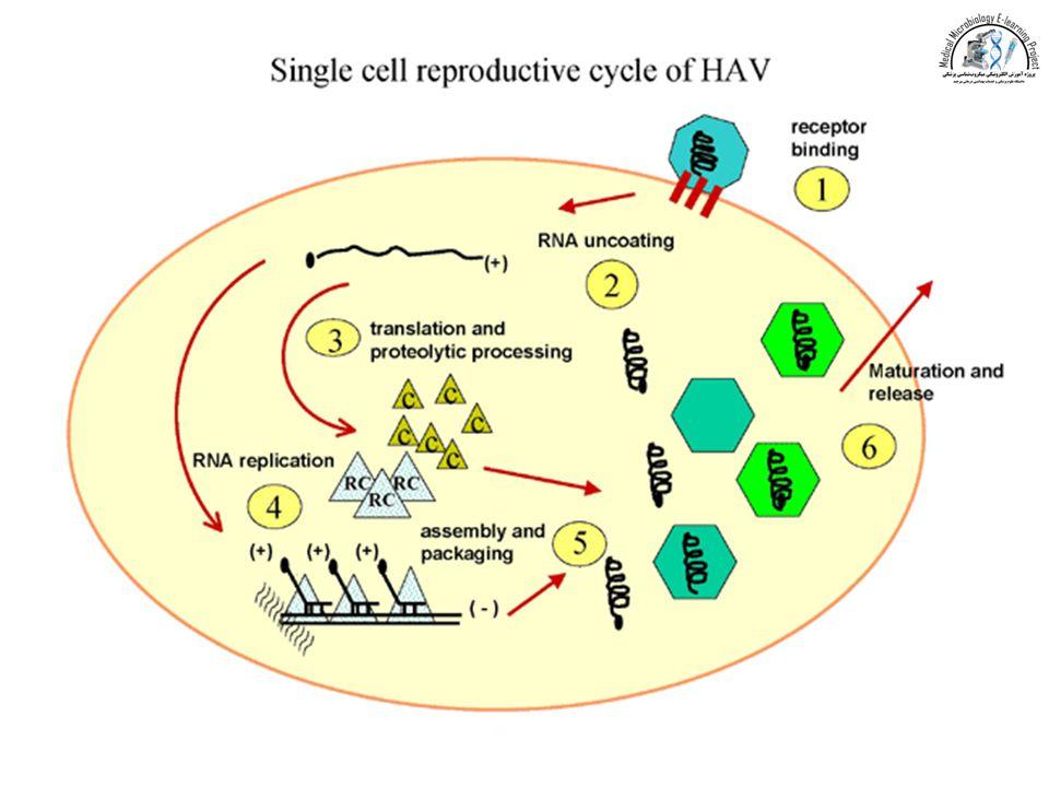 HEV An enterically transmited virus calcivirus Nonenveloped, single-stranded RNA virus (from calcivirus).