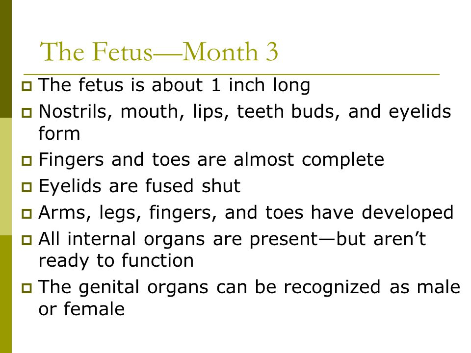 The Fetus—Month 3  The fetus is about 1 inch long  Nostrils, mouth, lips, teeth buds, and eyelids form  Fingers and toes are almost complete  Eyel