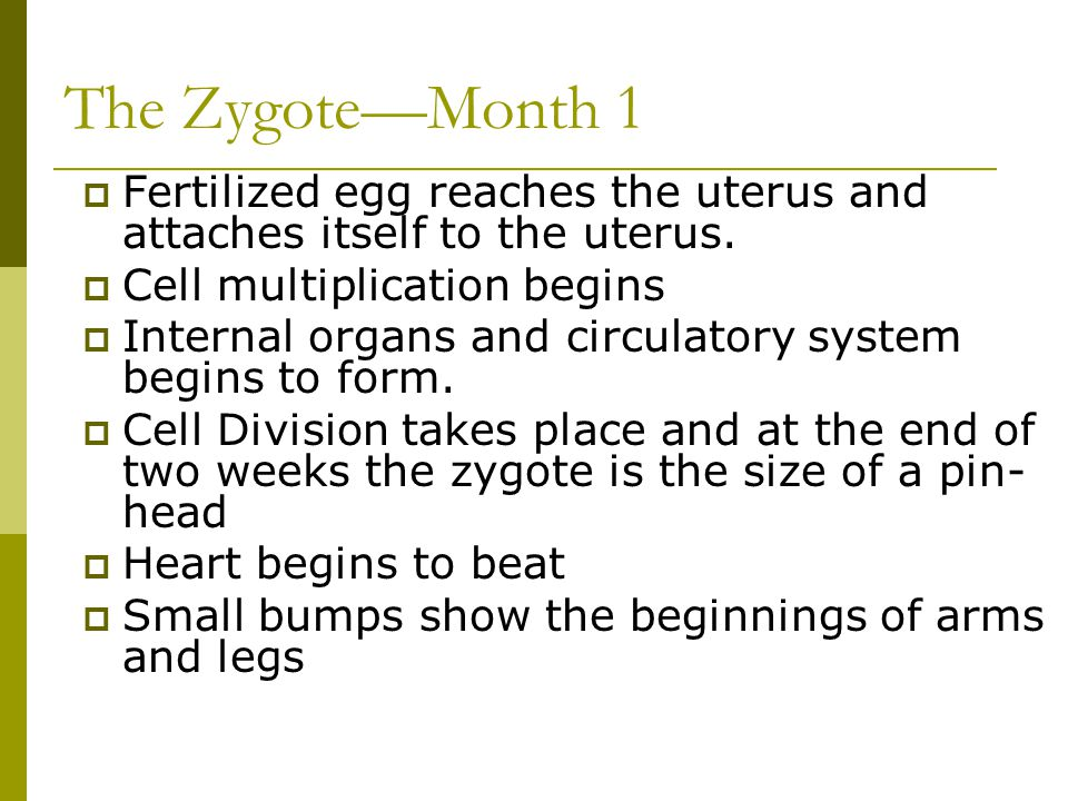 The Zygote—Month 1  Fertilized egg reaches the uterus and attaches itself to the uterus.  Cell multiplication begins  Internal organs and circulato