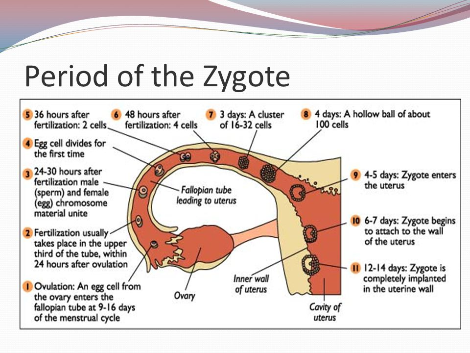 Period of the Embryo From 3 to 8 weeks after conception Body parts are formed during this period Embryo rests in the amnion filled with amniotic fluid Umbilical cord joins embryo to placenta