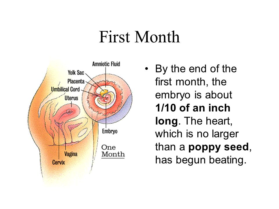 First Month By the end of the first month, the embryo is about 1/10 of an inch long.