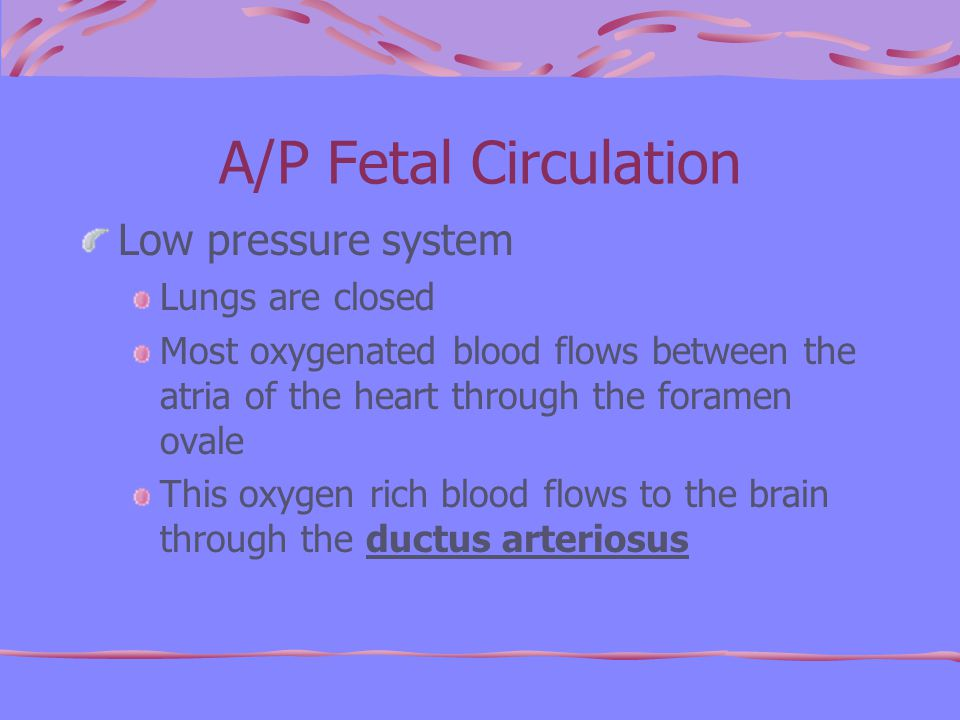 A/P Fetal Circulation Low pressure system Lungs are closed Most oxygenated blood flows between the atria of the heart through the foramen ovale This oxygen rich blood flows to the brain through the ductus arteriosus