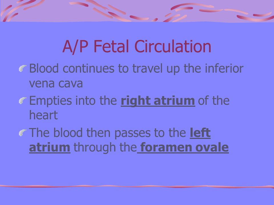 A/P Fetal Circulation Blood continues to travel up the inferior vena cava Empties into the right atrium of the heart The blood then passes to the left atrium through the foramen ovale