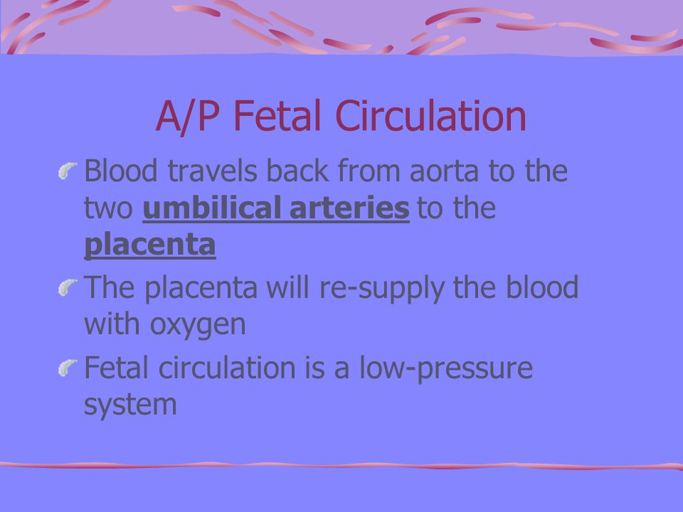 A/P Fetal Circulation Blood travels back from aorta to the two umbilical arteries to the placenta The placenta will re-supply the blood with oxygen Fetal circulation is a low-pressure system