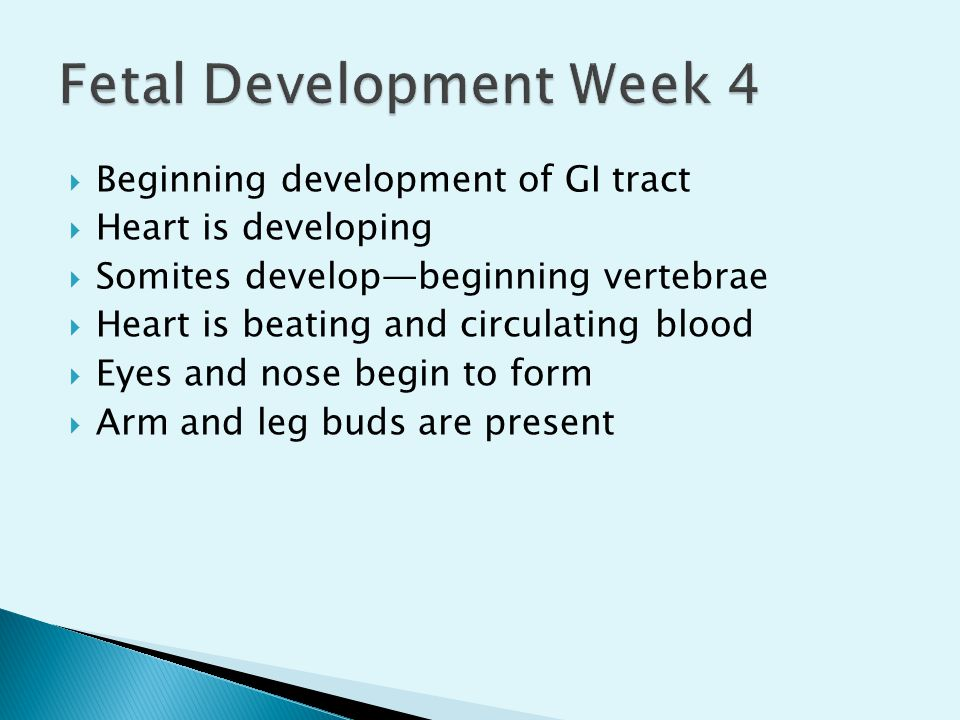  Beginning development of GI tract  Heart is developing  Somites develop—beginning vertebrae  Heart is beating and circulating blood  Eyes and no