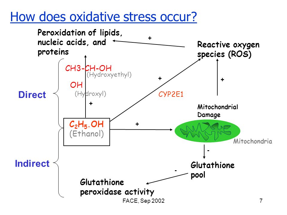 FACE, Sep 20027 Indirect Direct C 2 H 5.OH (Ethanol) Glutathione pool Glutathione peroxidase activity Mitochondrial Damage Peroxidation of lipids, nucleic acids, and proteins Reactive oxygen species (ROS) Mitochondria CH3-CH-OH (Hydroxyethyl) (Hydroxyl) + + + - - + How does oxidative stress occur.