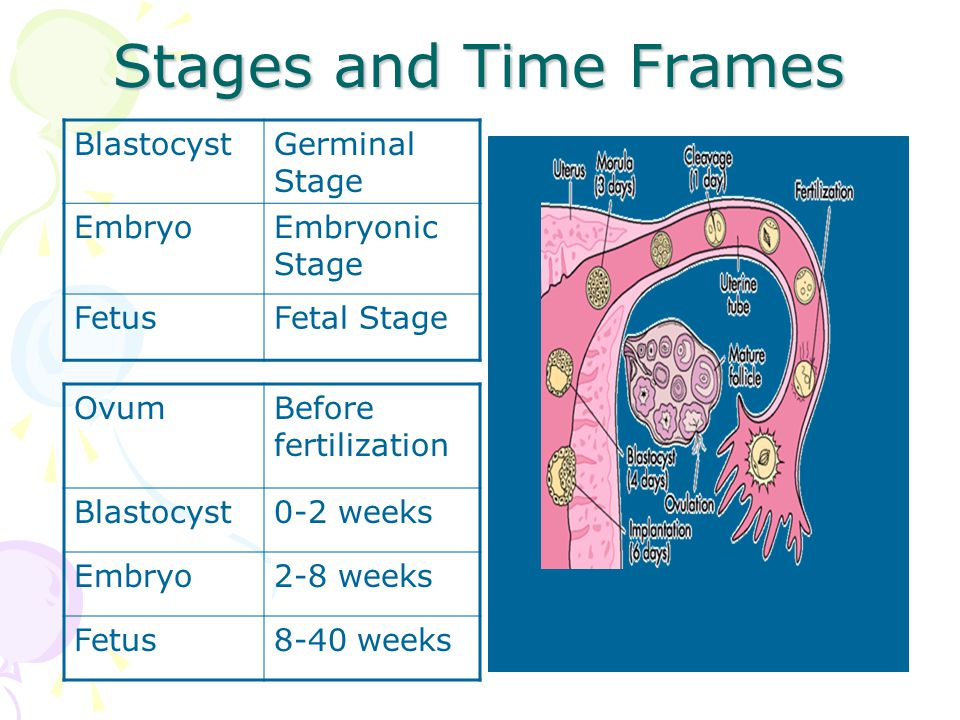 Stages and Time Frames BlastocystGerminal Stage EmbryoEmbryonic Stage FetusFetal Stage OvumBefore fertilization Blastocyst0-2 weeks Embryo2-8 weeks Fetus8-40 weeks