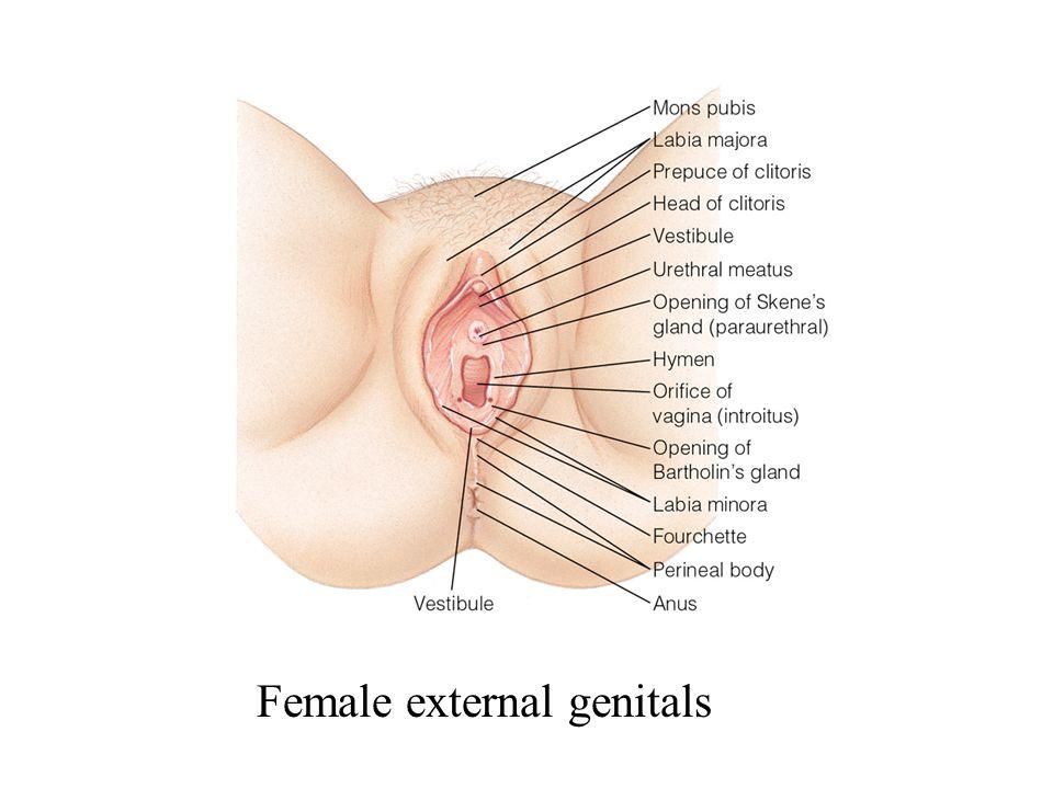 Female external genitals