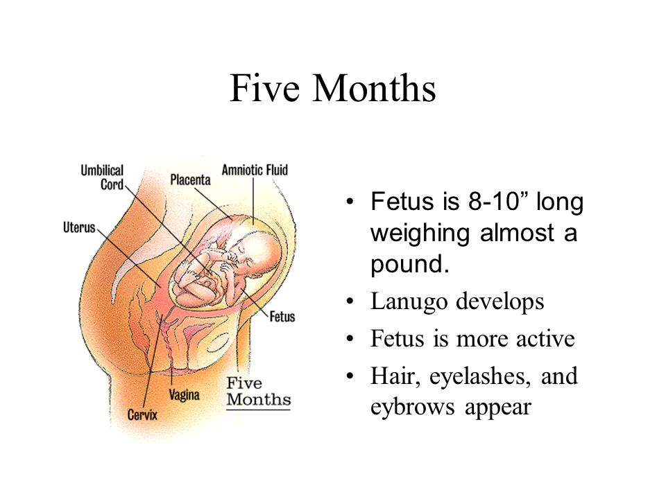 """Five Months Fetus is 8-10"""" long weighing almost a pound. Lanugo develops Fetus is more active Hair, eyelashes, and eybrows appear"""