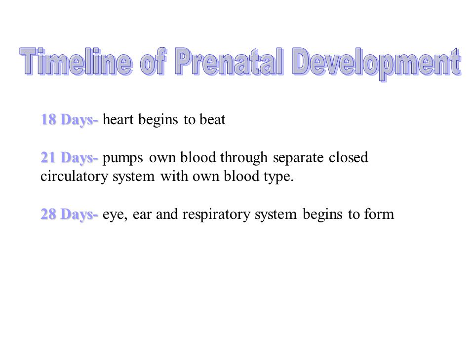 18 Days- 18 Days- heart begins to beat 21 Days- 21 Days- pumps own blood through separate closed circulatory system with own blood type. 28 Days- 28 D