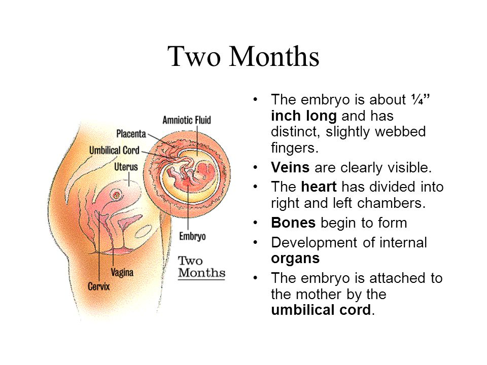 """Two Months The embryo is about ¼"""" inch long and has distinct, slightly webbed fingers. Veins are clearly visible. The heart has divided into right and"""