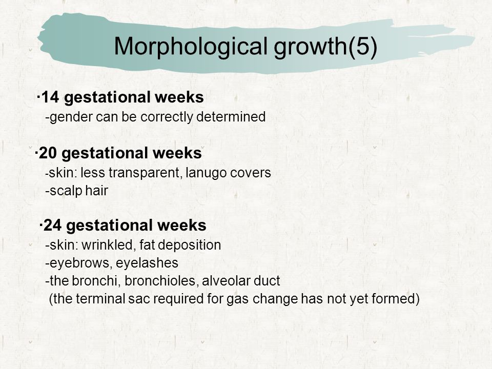 Morphological growth(5) ·14 gestational weeks -gender can be correctly determined ·20 gestational weeks - skin: less transparent, lanugo covers -scalp hair ·24 gestational weeks -skin: wrinkled, fat deposition -eyebrows, eyelashes -the bronchi, bronchioles, alveolar duct (the terminal sac required for gas change has not yet formed)