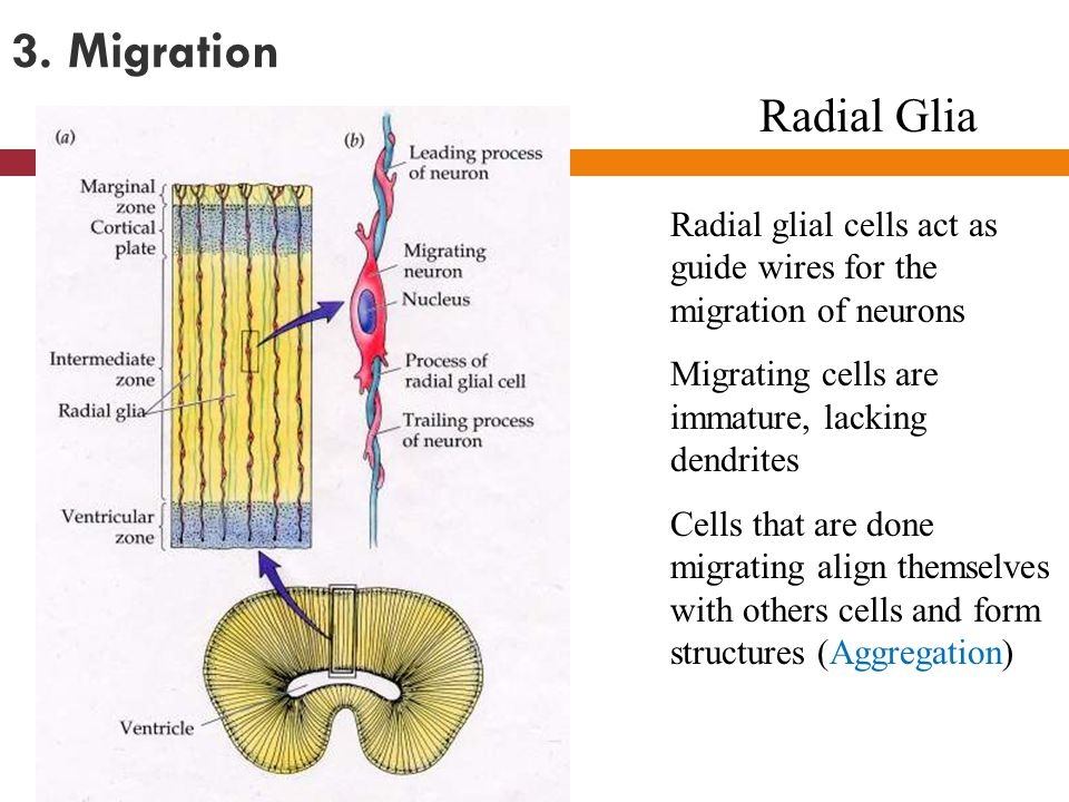 3. Migration Radial glial cells act as guide wires for the migration of neurons Migrating cells are immature, lacking dendrites Cells that are done mi