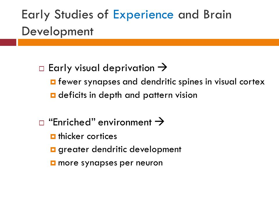 Early Studies of Experience and Brain Development  Early visual deprivation   fewer synapses and dendritic spines in visual cortex  deficits in depth and pattern vision  Enriched environment   thicker cortices  greater dendritic development  more synapses per neuron